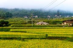 Risaie del Bhutan, Paro valle settembre 2015 Fotografie Stock Libere da Diritti
