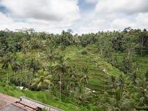 Risaie del terrazzo, Bali, Indonesia Fotografia Stock