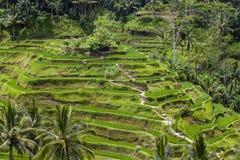 Risaie del terrazzo, Bali, Indonesia Immagine Stock