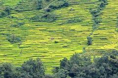 Risaie del terrazzo nel Nepal Immagine Stock Libera da Diritti