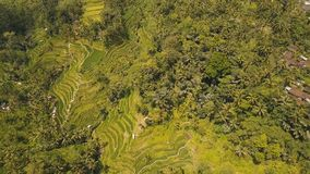 Risaie del terrazzo in Ubud, Bali, Indonesia Immagini Stock Libere da Diritti