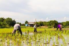 Risaie dell'agricoltore Immagini Stock Libere da Diritti