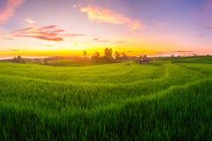 Risaie dell'Indonesia della natura immagini stock libere da diritti