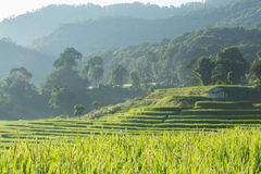Risaie della risaia della piantagione di agricoltura Immagini Stock