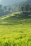 Risaie della risaia della piantagione di agricoltura Fotografie Stock Libere da Diritti