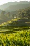 Risaie della risaia della piantagione di agricoltura Immagini Stock Libere da Diritti