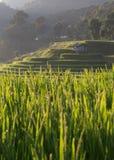 Risaie della risaia della piantagione di agricoltura Immagine Stock