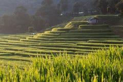 Risaie della risaia della piantagione di agricoltura, Chiangmai Fotografie Stock