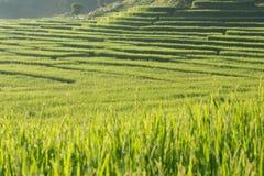 Risaie della risaia di agricoltura Fotografia Stock Libera da Diritti
