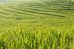Risaie della risaia di agricoltura Immagini Stock