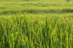 Risaie della risaia di coltivazione di agricoltura Fotografie Stock