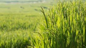 Risaie della risaia di coltivazione di agricoltura Immagini Stock