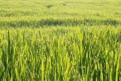 Risaie della risaia di coltivazione di agricoltura Immagini Stock Libere da Diritti