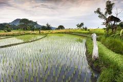 Risaie di Bali. Fotografie Stock