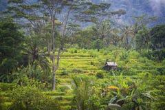 Risaie di Bali. Fotografie Stock Libere da Diritti