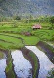 Risaie di Bali. Immagine Stock
