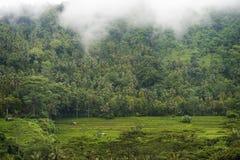 Risaie di Bali. Immagini Stock