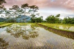 Risaie di Bali Fotografie Stock