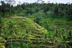 Risaie di Hillside su Bali Fotografia Stock Libera da Diritti