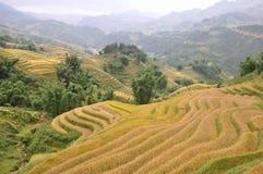 Risaie di riso Immagini Stock