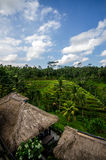 Risaie di riso Immagine Stock Libera da Diritti