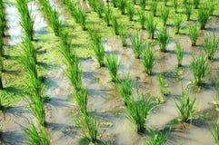 Risaie di riso Immagine Stock