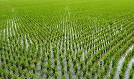 Risaie di riso cinesi Fotografia Stock