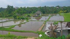 Risaie di Ubud stock footage