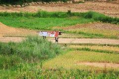 Risaie e capanna asiatiche dell'agricoltore nella coltivazione di stagione delle pioggie nel paese della Tailandia Immagini Stock