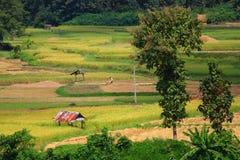 Risaie e capanna asiatiche dell'agricoltore nella coltivazione di stagione delle pioggie nel paese della Tailandia Fotografie Stock Libere da Diritti