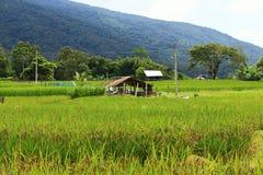 Risaie e capanna asiatiche dell'agricoltore nella coltivazione di stagione delle pioggie nel paese della Tailandia Fotografia Stock