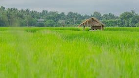 Risaie e capanna asiatiche dell'agricoltore nella stagione delle pioggie, coltivazione nel paese della Tailandia Immagine Stock Libera da Diritti