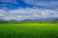 Risaie e capanna asiatiche dell'agricoltore nella stagione delle pioggie, coltivazione nel paese della Tailandia Immagini Stock