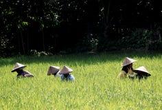 Risaie in Lombok Fotografia Stock Libera da Diritti
