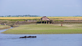Risaie lungo il fiume di Kaladan nel Myanmar Immagine Stock