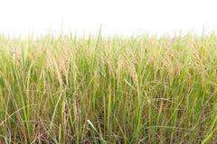 Risaie nei tropici su bianco Fotografia Stock