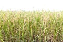 Risaie nei tropici su bianco Fotografia Stock Libera da Diritti