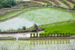 Risaie nella contea di Yuanyang, il Yunnan, Cina Immagine Stock Libera da Diritti
