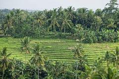 Risaie: Paesaggio della Malesia Fotografie Stock
