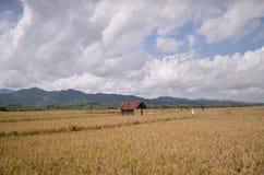 Risaie Purworejo Indonesia fotografia stock