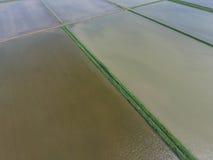 Risaie sommerse Metodi agronomici di coltivare riso nella f Fotografie Stock