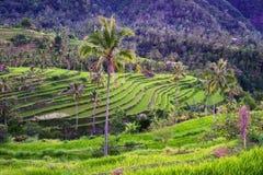 Risaie su Bali/Indonesia Fotografia Stock Libera da Diritti