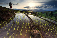 Risaie su a terrazze a Chiang Mai, Tailandia Fotografia Stock Libera da Diritti