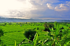 Risaie su a terrazze di Bali Immagine Stock