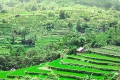 Risaie su a terrazze di Bali Fotografie Stock