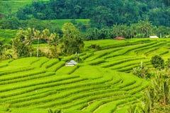 Risaie su a terrazze di Bali, Indonesia campi Immagini Stock Libere da Diritti