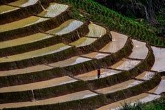 Risaie su a terrazze di PA Pong Pieng, Mae Chaem, Chiang Mai, Fotografia Stock Libera da Diritti