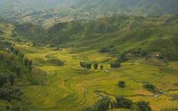 Risaie su a terrazze di SAPA, Vietnam Le risaie preparano il raccolto al Vietnam di nord-ovest Fotografia Stock Libera da Diritti