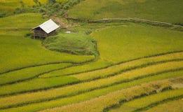 Risaie su a terrazze di SAPA, Vietnam Le risaie preparano il raccolto al Vietnam di nord-ovest Fotografia Stock