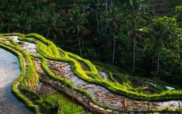 Risaie sul lifstyle dell'indonesiano di Bali della montagna fotografia stock
